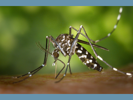 DEPARTMENT OF HEALTH AFFAIRS URGES VIGILANCE  REGARDING TIGER MOSQUITO,   A CARRIER OF SEVERAL CONTAGIOUS DISEASES