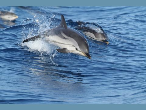 The Principality of Monaco Hosts the Permanent Secretariat of the Pelagos Agreement for the Creation in the Mediterranean of a Sanctuary  for Marine Mammals